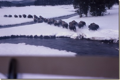Bison drive in snow at Upper Nez Perce Creek; Mary Meagher; 1966