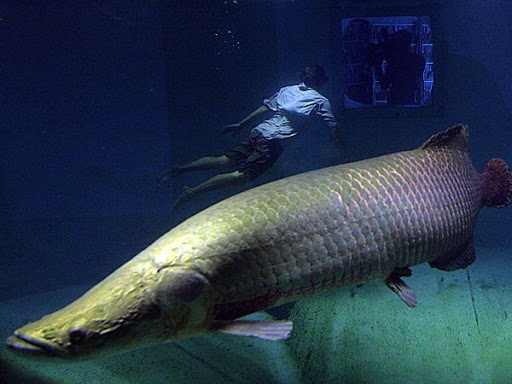 Arapaima and Diver