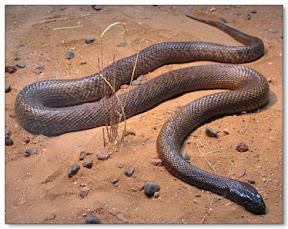 งูที่มีพิษร้ายแรงที่สุดในโลก