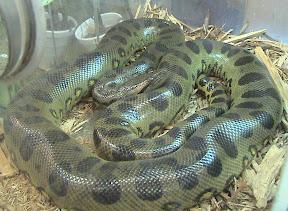 งูที่ใหญ่ที่สุดในโลก