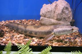 ปลาช่อนงูเห่า