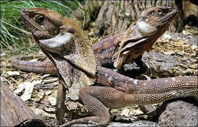 Frilled Neck Lizard (Chlamydosaurus kingii) กิ้งก่าประหลาด