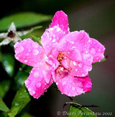 bunga mawar1