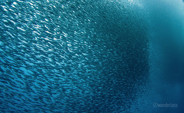 Sardine Run Pescador Moalboal Cebu