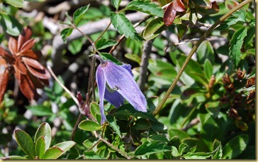 19-Clematide alpina