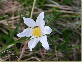 26-Anemone baldensis