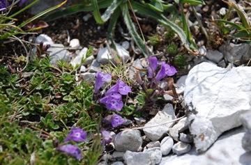 86-Acinos alpinum