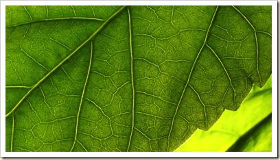 Thunder leaf