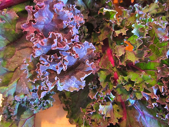 Gorgeous Red Kale