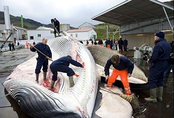ballenas cbidn