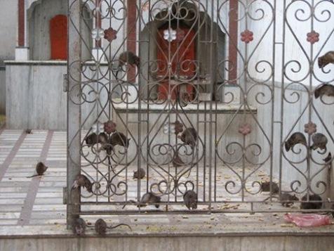templo de ratas 1