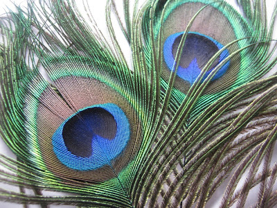 Peacock Eyed Feathers