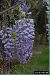 WF- wisteria