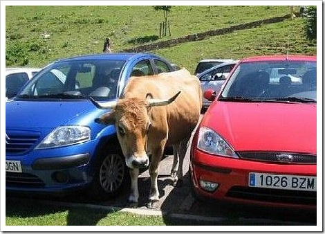 Funny cow picture - Parked.