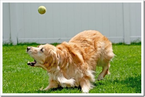 Dog with tennis ball fails to catch it.