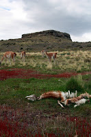 Guanacos from The Past & Present on Patagonia Excursion from Hotel Las Torres (Torres Del Paine, Chile)