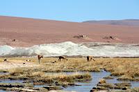Grazing Llamas (San Pedro de Atacama, Chile)