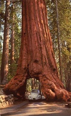 Wawona_Tree_Yosemite_PC_002