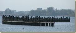 cormorants2