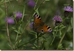 PEACOCK BUTTERFLY 2