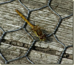 yellow darter good
