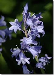 bluebell3