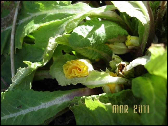 Primulan-blommar
