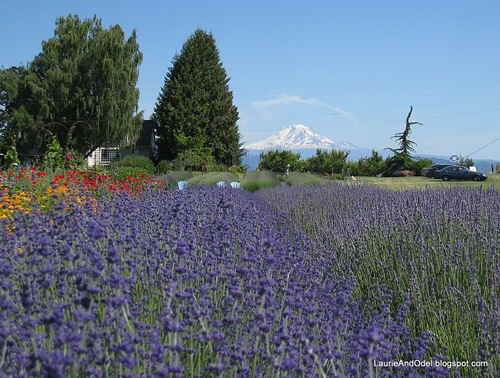 Lavender and Mt. Adams