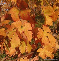 Fall color in the vineyards