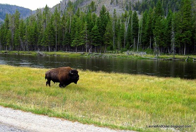 Roadside Bison
