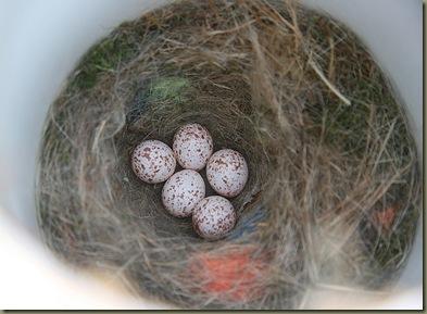 CChickadees eggs
