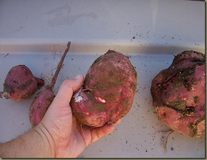Sweet Potato Vine tuber (3)