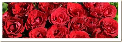 red-roses-dsc03587-dws