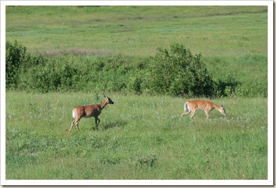 Doe and Fawn 3- wildlife loop