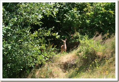Fawn Above Campground 2