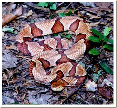 copperhead1