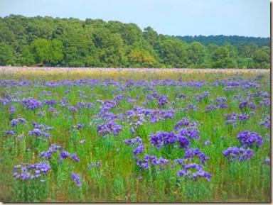 Bluebell-Pasture