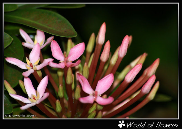 white ixora flower picture