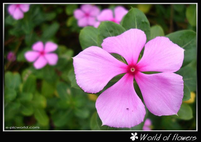 kemunting cina flower picture