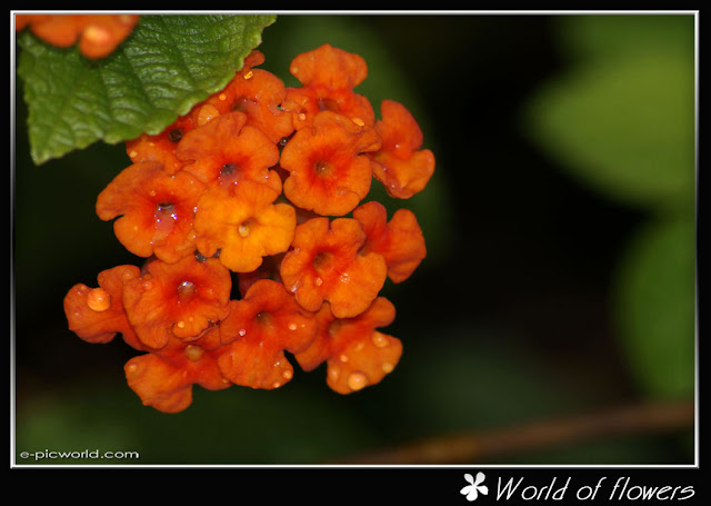 lantana flower picture