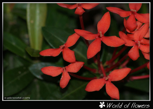 ixora flower picture