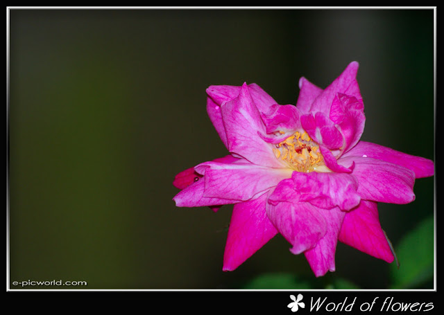 pink rose flower picture