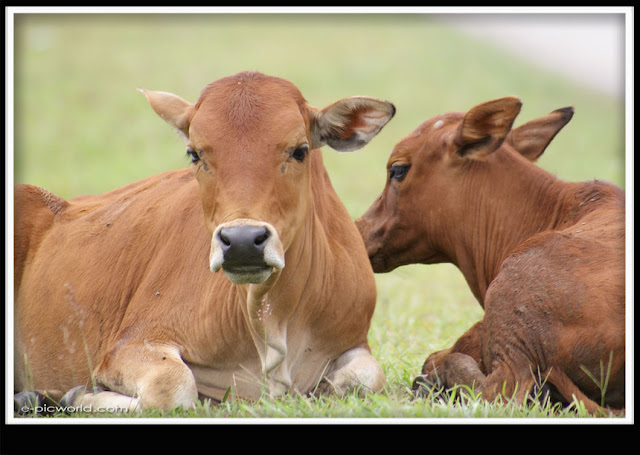 cows picture