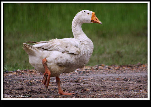 white goose picture