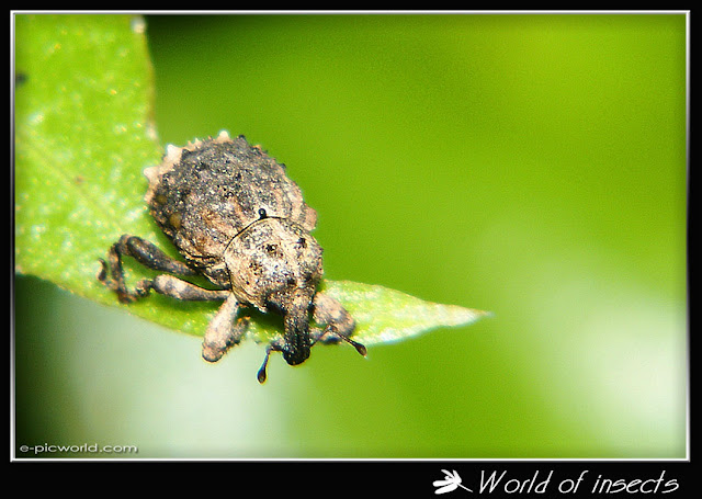 snout beetle picture