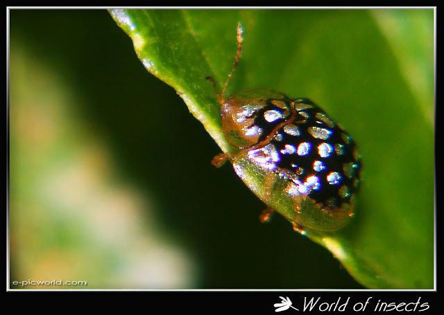 silver black mottled tortoise beetle picture