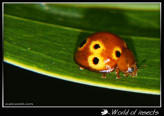 beetle lady bug picture