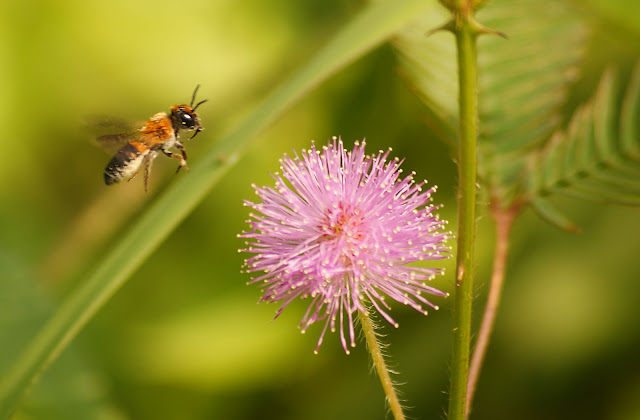 a wasp and a mimosa picture