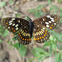 Theona Checkerspot Butterfly- male