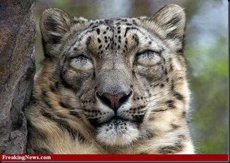 Snow-Leopard-Eyes--35029